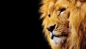 Löwen wählen ihr Ziel konsequent aus