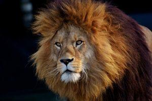 Ein Löwe kann stoppen