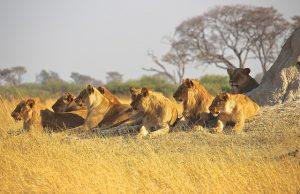 Löwen jagen im Rudel